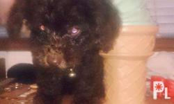 DOB july 28 2015 male chocolate brown liver nose