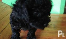 Male black or blue Very loving Hypoallergenic Updated