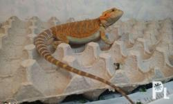 Selling bearded dragons. Other morphs also available.