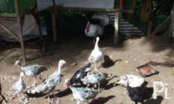 turkey for sale 2 months old 1500 pares no shipping