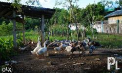 Turkeys, male & female, 5 to 6 months old. Price at