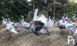 Free-ranged turkeys, some are ready to breed. Pick-up