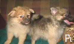 Deskripsiyon TWO FEMALE POMERANIAN PUPPIES READY FOR
