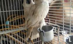 3.5yrs old ready to breed .umbrella cockatoo pair/.