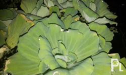Water lettuce for sale 15 per plant only No minimum for