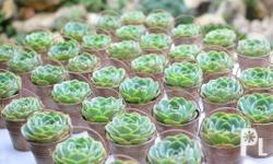 Wonderful succulent plants for sale, amazingly