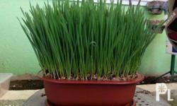 Wheatgrass is a food prepared from the freshly sprouted