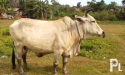 Brahman cow,female,big and fat..Eats grass and feeds
