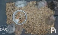 Winter white hamster for sale Sapphire - P200 Tiger -