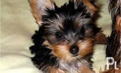 THIS TOP QUALITY YORKIE PUPPY IS VET CHECK , PCCI