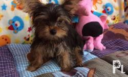 For Sale Female Yorkie DOB: July 24, 2016 With PCCI
