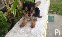 Yorkie Puppies for sale 2 months old D.O.B November 26,