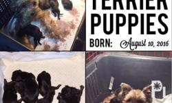 Super cute and healthy yorkie puppies! 2x vaccinated 4x