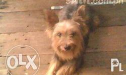 yorky 2 balls proven many times record of 7 pups