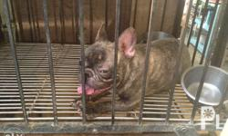 Young adult female french bulldog Date of birth April